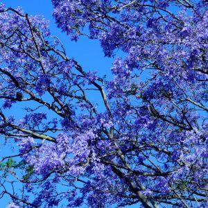 South Africa's Sakura -Jacaranda