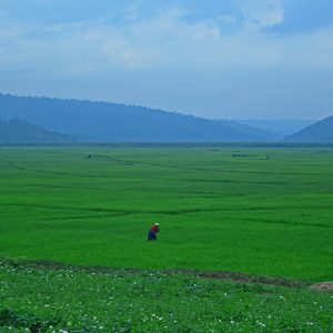 Big scale rice farm in Rwanda