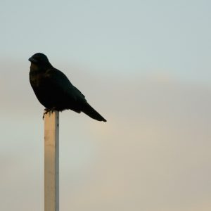Just a crow