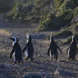 Going for a walk. Cape penguin in South Africca
