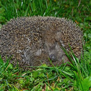 A cute hedgehog in the garden in Bulgaria