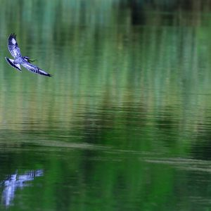 Kingfisher catching a fish