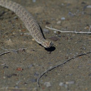 Puff adder.We nealy cycled on this guy,