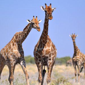 at Etosha Pan, Namibia