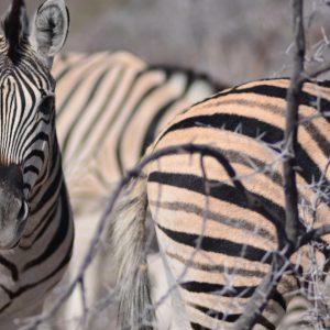 Namibian desert Zebra