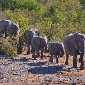 Elephant family turns up from bush