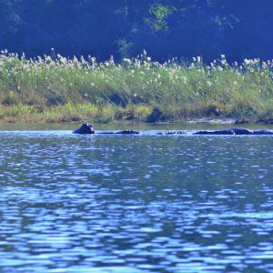 Hippos floating next to our tent