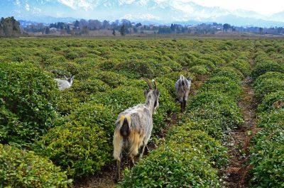 Goats into the tea farm in Georgia