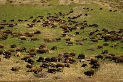 Roaming sheep in Azerbaijan
