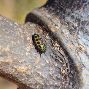 Rainbow bug