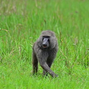 Baboon in Uganda