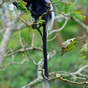 Black & White Colobus in Uganda