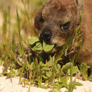 Dassie munching