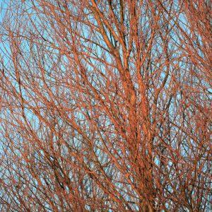 Orange trees and blue skys